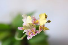 Beautiful closeup of an orchid White Oncidium Twinkle mini orchid. stock photos