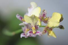 Beautiful closeup of an orchid White Oncidium Twinkle mini orchid. royalty free stock photography