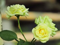 Beautiful closeup photo of twin white rose flowers in the garden with blurred background stock photos