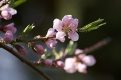 Pink cherry blossoms royalty free stock photography