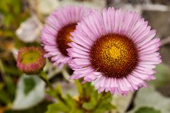 Beautiful closeup of pink and red seaside daisy Erigeron glaucus with a bright yellow center stock photos