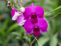 Beautiful closeup of purple orchid. royalty free stock photo