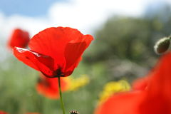 Beautiful closeup of red poppy1. Beautiful closeup of red poppy Royalty Free Stock Photography