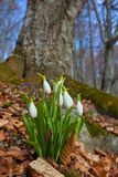 Beautiful closeup snowdrops Royalty Free Stock Photo