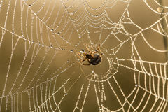 A beautiful closeup of a spider web in marsh. Web with water droplets in morning light. Stock Photography
