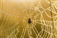 A beautiful closeup of a spider web in marsh. Web with water droplets in morning light. Stock Photos