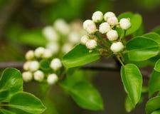Beautiful closeup spring blossoming tree Stock Photography