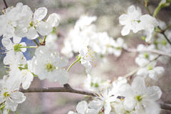Beautiful closeup spring blossoming tree Stock Images