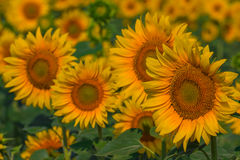 Beautiful closeup sunflowers Royalty Free Stock Photo