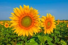 Beautiful closeup sunflowers Stock Photography