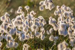 A beautiful closeup of a white cottongrass heads growing in a natural habitat of swamp. Natural closup of wetlands flora. In Latvia, Northern Europe royalty free stock image