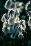 A beautiful closeup of a white cottongrass heads growing in a natural habitat of swamp. Natural closup of wetlands flora. In Latvia, Northern Europe stock image
