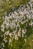 A beautiful closeup of a white cottongrass heads growing in a natural habitat of swamp. Natural closup of wetlands flora. In Latvia, Northern Europe stock photos