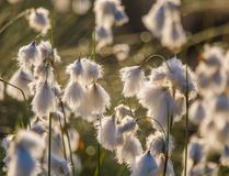 A beautiful closeup of a white cottongrass heads growing in a natural habitat of swamp. Natural closup of wetlands flora. In Latvia, Northern Europe royalty free stock photos