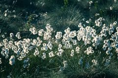 A beautiful closeup of a white cottongrass heads growing in a natural habitat of swamp. Natural closup of wetlands flora. In Latvia, Northern Europe royalty free stock photography
