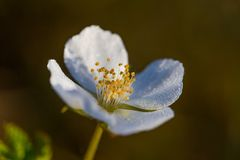 A beautiful cloudberry flower and leaf in a natural habitat of swamp. Closeup scenery of a wetland flora Stock Images