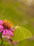 Beautiful Cloudless Sulphur Royalty Free Stock Images
