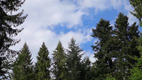 Beautiful clouds in a pine forest stock video