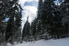 Beautiful cloudy sky in the forest between snow-covered trees Stock Image