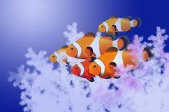 Beautiful clownfish masses Royalty Free Stock Photography
