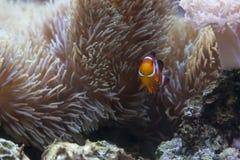 Beautiful Clownfish and Sea Anemone Stock Images
