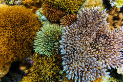 Beautiful clump of colorful corals like delicate flower blossoms raise up from coral reef Royalty Free Stock Images