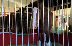 Beautiful Clydesdale horse in stall during Budweiser show, Saratoga, New York, 2016. Beautiful Clydesdale horses in stalls for visitors to view, during Budweiser royalty free stock images