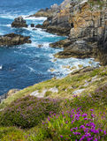 Beautiful coastal cliffs in Brittany with heath Royalty Free Stock Photos