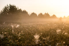 Beautiful cobwebs in autumn Royalty Free Stock Photo