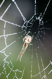 Beautiful cobwebs in autumn with spider Stock Image