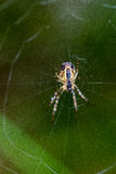 Beautiful cobwebs in autumn with spider Royalty Free Stock Image