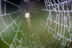 Beautiful cobwebs in autumn with spider Stock Images