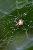 Beautiful cobwebs in autumn with spider Royalty Free Stock Photography