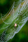 Beautiful cobwebs in autumn with spider Stock Photography