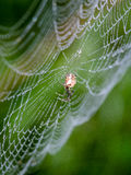 Beautiful cobwebs in autumn with spider Stock Photos