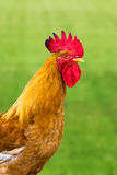 A beautiful cock Royalty Free Stock Photo