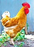 A beautiful cock Royalty Free Stock Photos