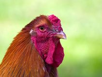 Beautiful cock closeup Royalty Free Stock Photos