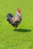 Beautiful cock on green grass Royalty Free Stock Image
