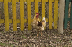 Beautiful cock motley color stands near the fence Royalty Free Stock Image