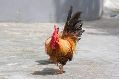 Beautiful Cock In The Park. Royalty Free Stock Photography