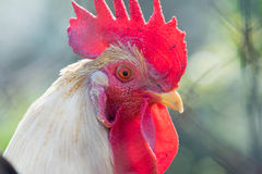Beautiful cock portrait. A close up look Stock Image