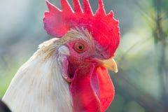 Beautiful cock portrait. Stock Image