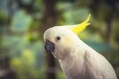 Beautiful cockatoo parrot portrait on blurred green tropical background in tropical forest with copy space. Cockatoo parrot portrait on blurred green tropical Stock Photos