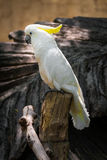 Beautiful cockatoo. Photo of the Beautiful cockatoo stock photography