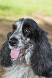 Beautiful cocker spaniel. Black and white Royalty Free Stock Photos