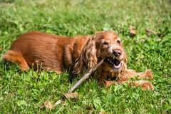 Beautiful cocker spaniel gnaws a stick lying on the grass. Red cocker spaniel resting on grass in summer royalty free stock images
