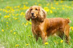 Beautiful cocker spaniel Royalty Free Stock Photography