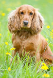 Beautiful cocker spaniel. On the green grass Stock Images