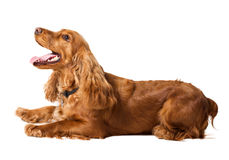 Beautiful cocker spaniel lying Royalty Free Stock Image